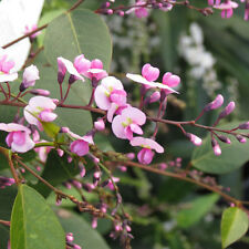Hardenbergia Bushy Pink Form Seed Small Native Shrub Hardy