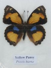 Yellow Pansy Butterfly Insect Bug Moth Beetle Taxidermy wooden flame Free shippi