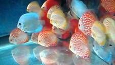 """x3 DISCUS PACKAGE 2"""" - 3"""" EACH - TANK RAISED - ASSORTED PICKED - FREE SHIPPING"""