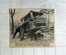 1921 Unloading Lions In Cages At London Zoo Gift From Ranji Cricketer