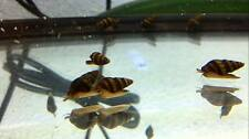 3 Assassin Snails Freshwater Aquarium Fish Tank Snail KILLS Invasive Snails!