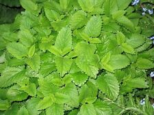 LEMON BALM Lemonbalm Fragrant Herb / Flower 30 Seeds