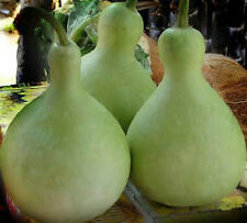 20 Seeds Bottle gourd Seeds new seed for 2017 Non-GMO, Heirloom