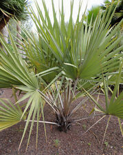 Hyphaene coriacea - Lala Palm - Large Fresh Seeds