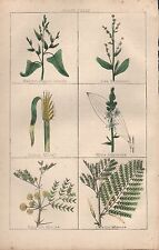 1860 Ca ANTIQUE BOTANICAL PRINT-HALBERT SHAPED ORACHE,SEA PURSLANE,INDIAN MILLET