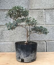 Dragon Style Olive Bonsai Tree Kifu  Evergreen Small Leaves Beautiful SPECIMEN