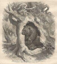 A4748 Orso nella sua abitazione - Xilografia - Stampa Antica 1864 - Engraving