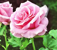 100 Pink Rare Rose Seeds Fresh Rose Seed For Lover