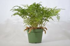 Brown Rabbit's Foot Fern - 4'' Pot Mature Easy Grow GIFT Holiday Cute Plant