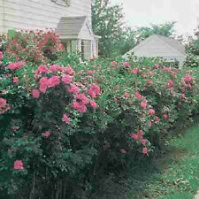 Rosa Rugosa Rose bush pink flowering hedge Vitamin rose hips Shipped Dormant