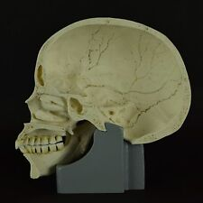 HUMAN HALF SKULL (REAL SIZE) SAGITTAL CUT WITH STAND