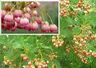 Prachtglocke Stecklinge / mediterrane pflegeleichte Pflanze für das Gewächshaus