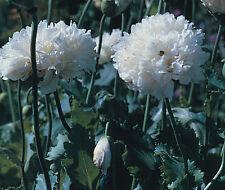 """Papaver paeoniflorum """"white cloud"""" pivoine 700 graines de pavot hardy annuel"""