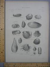 Rare Antique Original VTG Oyster Various Mollusca Chart Engraving Art Print