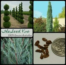50 CONIFER SKYROCKET PENCIL PINE SEEDS (Juniperus scopulorum) Evergreen
