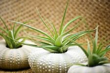 Air Plant Tillandsia Bromeliads 3 Gift Set with Sea Urchin Holiday Decor Gift
