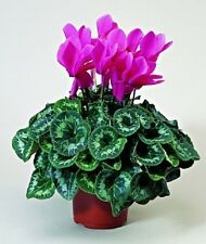 15 Cyclamen Seeds Sierra Syncho Rose