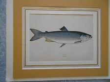 Native Fish of the British Isles,Wood Block Engraved Prints by John Couch