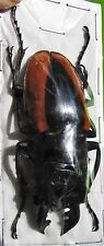 Wollastons Stag Beetle Odontolabis wollastoni 50-55mm Male FAST SHIP FROM USA