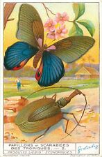 CARD 1935 : Papilio acharas Butterfly Mormolyce phyllodes Violin Beetle