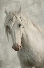 Framed Print of a Beautiful White Stallion (Animal Horse Picture Poster Art)