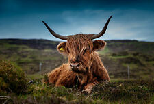 Framed Print - Scottish Highland Cow Relaxing in a Mossy Field (Picture Animal)