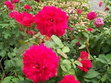 Polonaise Deep Pink Rose 1 Gal Shrub Plants Plant Disease Resistant Garden Roses