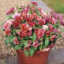 CHIANTI MIX PANSY 25 SEEDS ONE OF THE MOST BEAUTIFUL I HAVE SEEN IN A LONG TIME