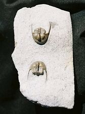 EXTINCTIONS PREP - Wonderfully Detailed Onnia Pair, Fossil Trilobites - Morocco!