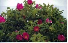 110+ Beautiful Alberta Wild Rose Seeds Bush Shrub Rosa Acicularis Rose Hips Sale