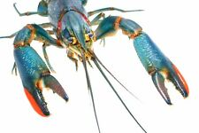 200 Live Red Claw Crayfish Aquaculture Aquaponics live crayfish live crawfish