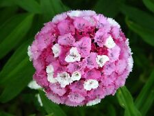 100 WEE WILLIE Dwarf SWEET WILLIAM Mixed Colors Dianthus Barbatus Flower Seeds