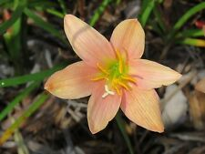 Rain Lily, Zephyranthes Morning Star, 1 bulb, NEW, habranthus
