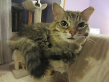 Sponsor Ginger--A Rescued SCOOP Cat for 1 Month--Receive Her Picture & Story