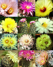CORYPHANTHA MIX fragrant beehive cactus flower blooming cacti succulent 30 seeds