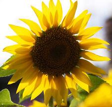 Sunflower Seeds 20 Seeds Helianthus Annus Beautiful Flower Garden Seeds Hot A034