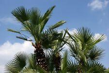 ! Trachycarpus fortunei - Hanfpalme aus China - frosthart, wunderschön !