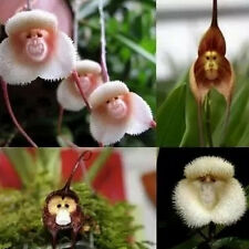 10pcs Rare Monkey Face Orchid Flower Seeds Plant Seed Bonsai DIY Home Garden Wow