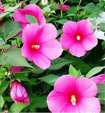 FD1666 Hibiscus Moscheutos Seed Abelmoschus Hibiscus Flower ~1 Pack 200 Seeds~✿