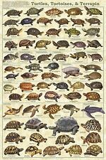 TURTLES TORTOISE & TERRAPIN POSTER (61x91cm) EDUCATIONAL WALL CHART NEW LICENSED