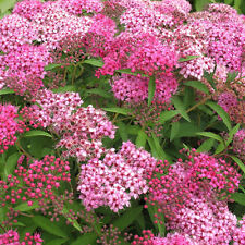 8 pink May Bush Japanese Spiraea compact garden flower plant hedge shrub