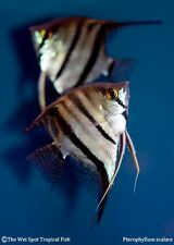 (3) Sm. WILD Angelfish Pterophyllum scalare Rare Peru Live Freshwater Tropical