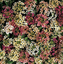 Alyssum Aphrodite Mix Nice in pots, for ground cover 150 Seeds. Sweet Fragrance!