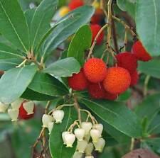 Arbutus Unedo - 25 Semi-Albero di fragole