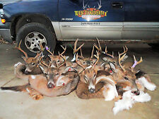 "7"" + 18""  WHITETAIL BUCK DEER CAPES Y-CUT THINNER OCT. FUR TAXIDERMY CAMO HORN"