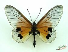 longwing butterfly Acraea igati SET x1 TS A1- M display heliconiinae entomology