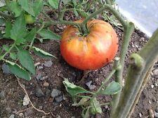Kürbistomate Roter Kürbis Riesen-Fleischtomate 1 kg schwere Früchte