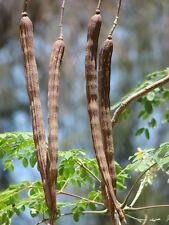 ARBOL MILAGRO moringa oleifera 5 semillas seeds