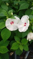 White Hardy Hibiscus 3 Gal. Large Plant Huge Flowers Easy To Grow Plants Garden
