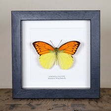 Brimstone Wing Real Mounted Butterfly in Box Frame (Hebomoia leucippe)